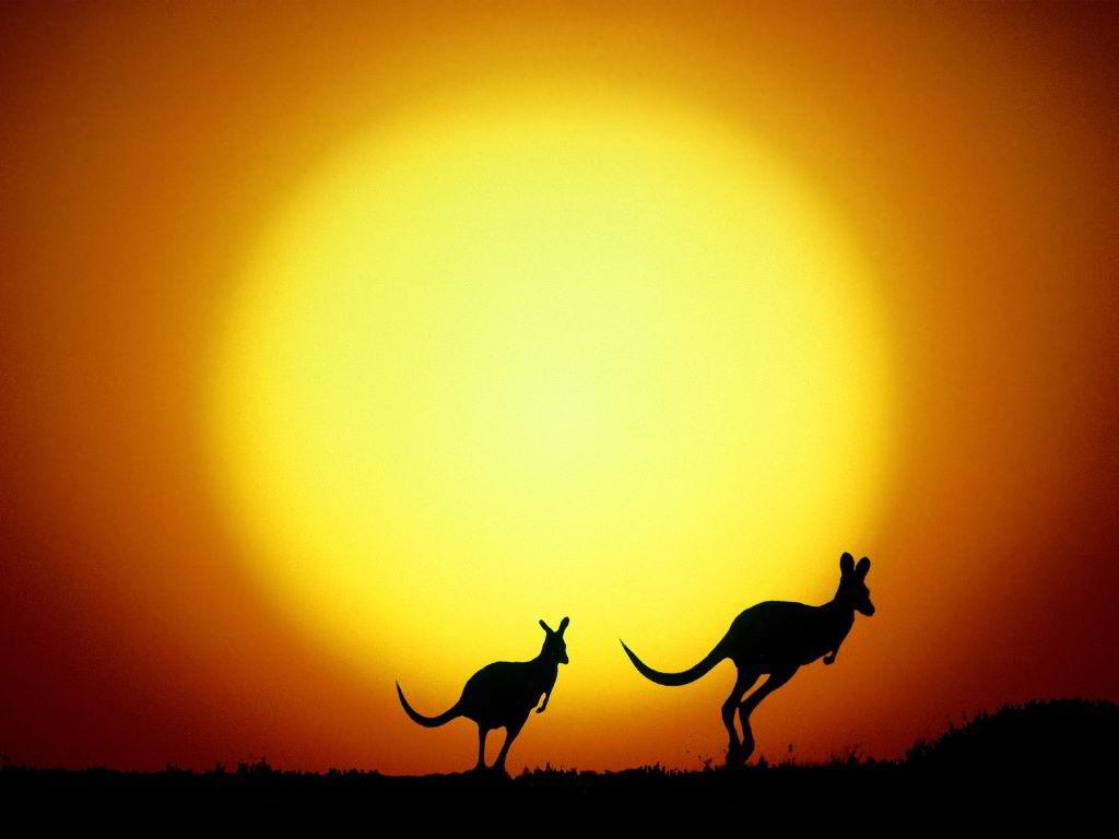 Kangaroo's in the outback